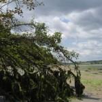 Irische Zwitterwesen #1: Seetangbaum