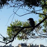 A Kookaburra on the Manly to Spit Bridge Walk