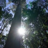 Giant Stringybark Eucalyptus