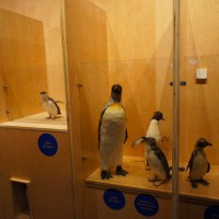 Stuffed Penguins in Phillip Island