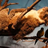 Koala, reclining