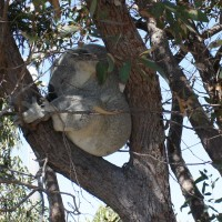 Koalas, close enough to touch, on the Forts Walk