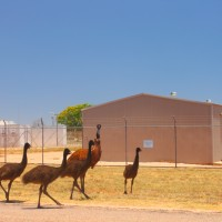 cape-range emus